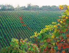 campagna con filari di viti