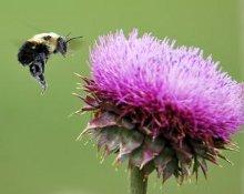 un'ape che vola vicino a un fiore