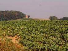 un campo di lattuga