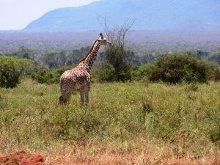 paesaggio africano con giraffa