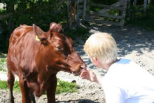 un bimbo offre da mangiare a un vitello
