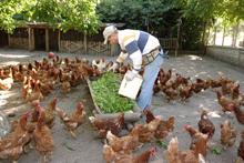 un uomo offre da mangiare alle galline