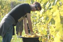 un ragazzo ospite della fattorie sociali raccoglie l'uva