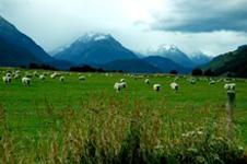pecore che pascolano in nuova zelanda