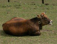 vacca