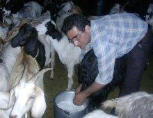 un allevamento di capre