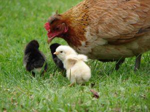 gallina con i pulcini
