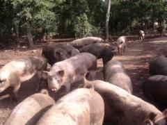 un allevamento di maiali