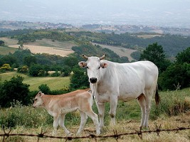mucca di razza chianina di monica arellano ongpin su flickr