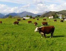 una mandria di mucche