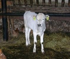 vitello di vacca podolica