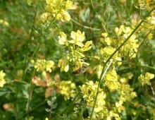primo piano del fiore di una pianta di senape