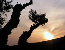 ulivo al tramonto