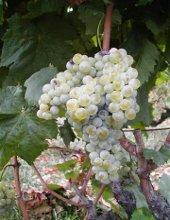 vitigno di uva carricante
