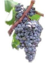 grappolo d'uva di nerello cappuccio