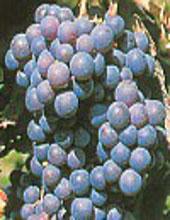 grappolo d'uva di nerello mascalese