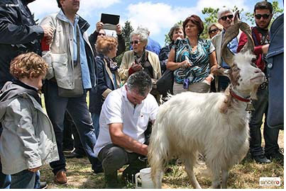 mungitura della capra