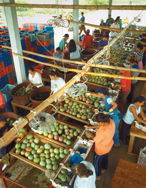 lavoratori impegnati nella raccolta della frutta Fairtrade