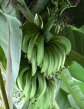 caspo di banane verdi sulla pianta