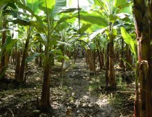 piantagione di banane in ecuador