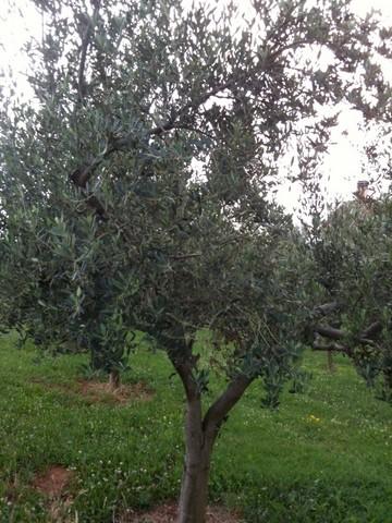 uliveto di Castelvecchio