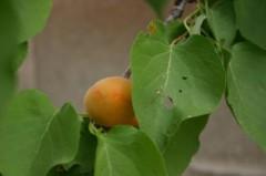 pianta di abicocca