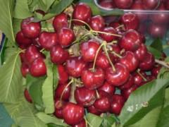 ciliegie di vignola sulla pianta