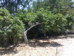 piante di fico