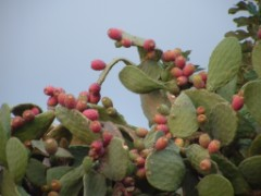 fichi d'India sulla pianta