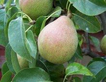 una pera sull'albero