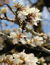 fiori di mandorlo, da Wikipedia Commons