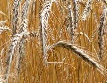 spighe di grano nel campo