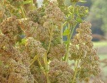 la pianta della quinoa
