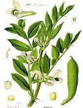disegno botanico della pianta delle fave