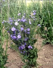 i fiori della pianta di radicchio