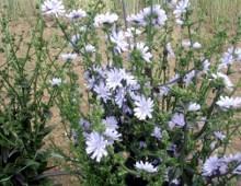 radicchio in fiore