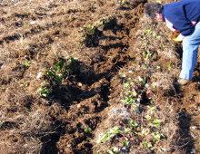 il sistema di coltivazione del radicchio