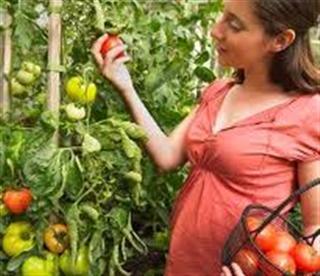 ortolana che raccoglie i pomodori