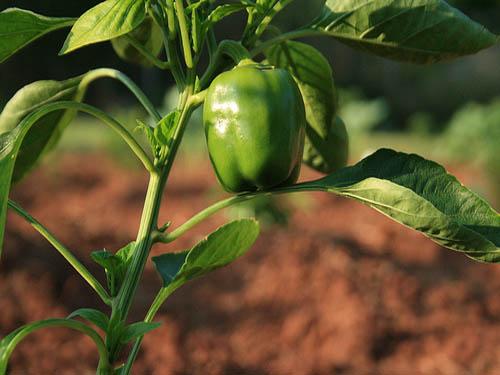 pianta di peperone