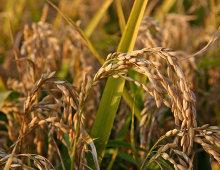pianta del riso