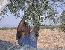 ragazzo raccoglie le olive