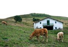 una fattoria con due vitelli in primo piano