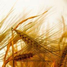 una spiga di grano spezzata