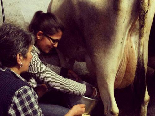 mungitura della mucca