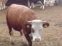 Vacca pezzata rossa di Oropa