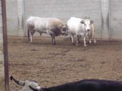 Mucche di razza Piemontese