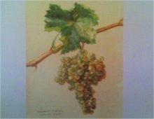 illustrazione di un grappolo d'uva