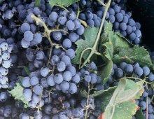 grappoli d'uva del nero d'avola