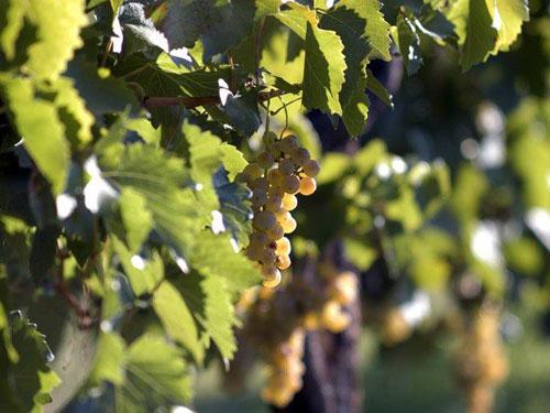 grappoli di uva gialla