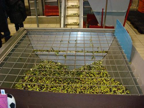 olive di varietà bianchera